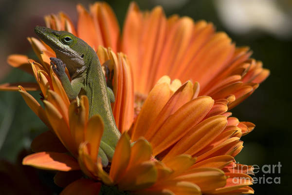 Photograph - Anole On Gerber Daisy by Jill Lang