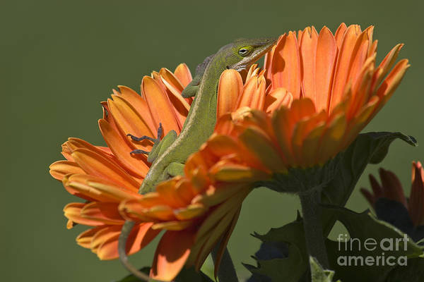 Photograph - Anole On Orange Gerber Daisy by Jill Lang