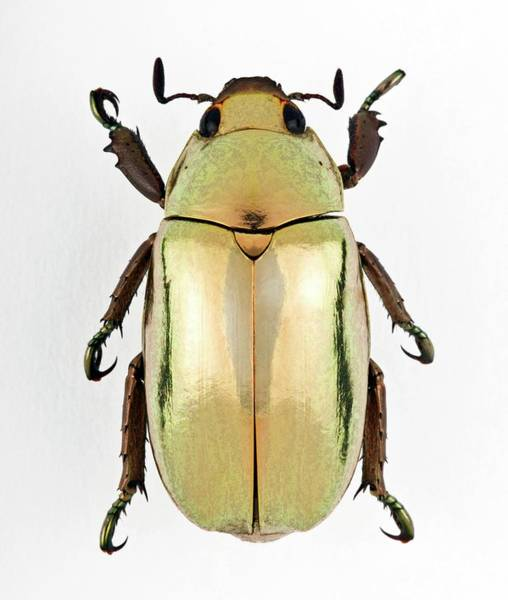 Wall Art - Photograph - Anoplognathus Scarab Beetle by Pascal Goetgheluck/science Photo Library