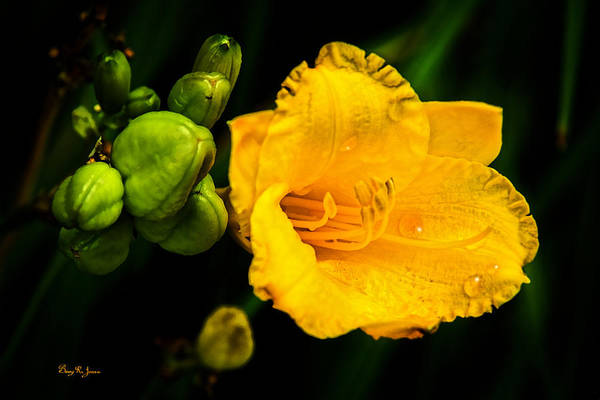 Photograph - Day Lilly - Flower - Another Day by Barry Jones