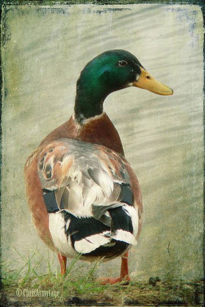 Photograph - Another Duck ... by Chris Armytage