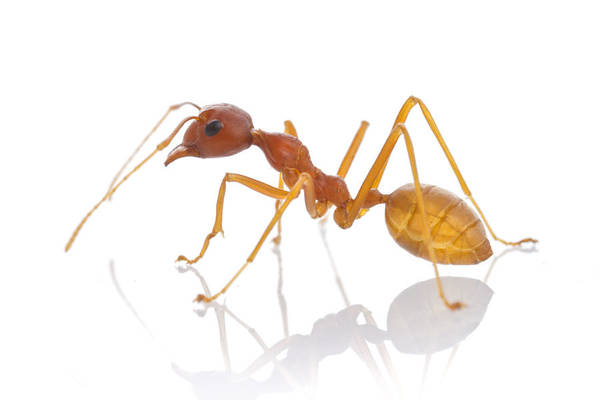 Photograph - Ant Gorongosa Mozambique by Piotr Naskrecki