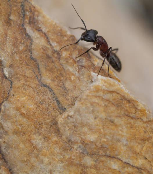 Photograph - Ant Macro by Fran Riley