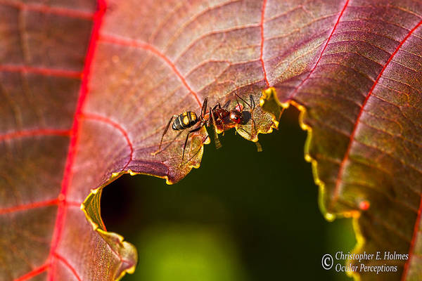 Photograph - Ant On Red Leaf by Christopher Holmes