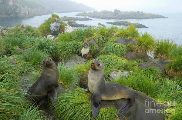 Photograph - three Antarctic Fur Seals by Yva Momatiuk John Eastcott