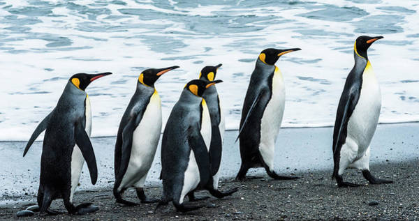 King George Wall Art - Photograph - Antarctic, Penguins, Marching by George Theodore