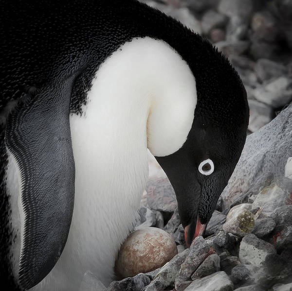 Birds Eggs Photograph - Antarctica Adelie Penguin Nurses An Egg by Janet Muir