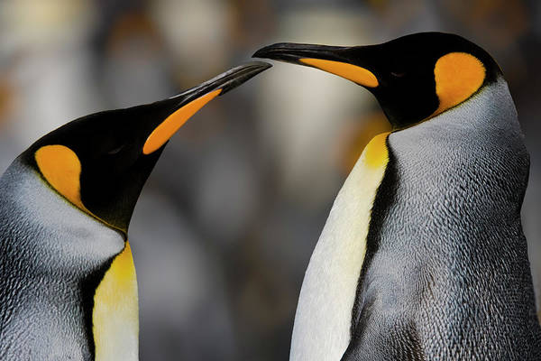 King George Wall Art - Photograph - Antarctica, South Georgia, King Penguin by George Theodore
