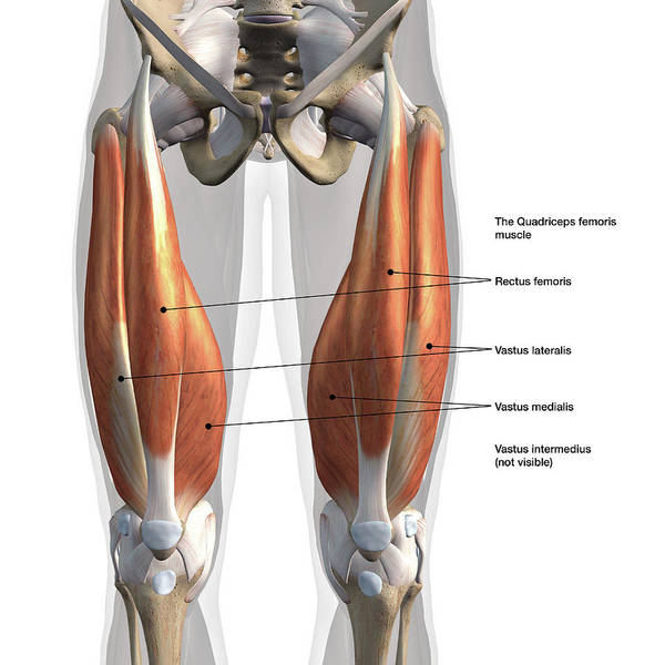 Wall Art - Photograph - Anterior View Of Male Quadriceps by Hank Grebe