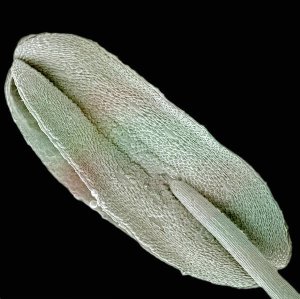 Anther Wall Art - Photograph - Anther Of Penta Lanceolata. Sem by Science Stock Photography/science Photo Library