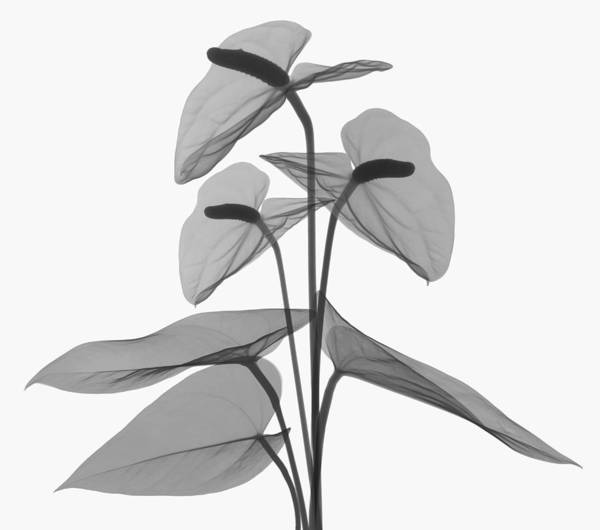 Wall Art - Photograph - Anthurium Flower, X-ray by Ted Kinsman