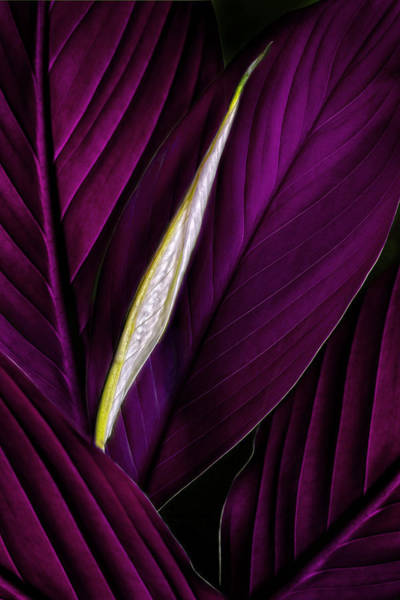 Photograph - Anthurium Leaves And Bud Magenta by Bob Coates