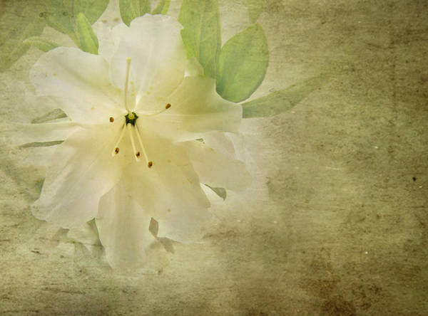 Photograph - Antique Azalea by Jemmy Archer