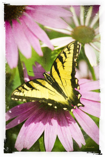 Mixed Media - Antique Butterfly Postcard No. 3022 by Christina Rollo