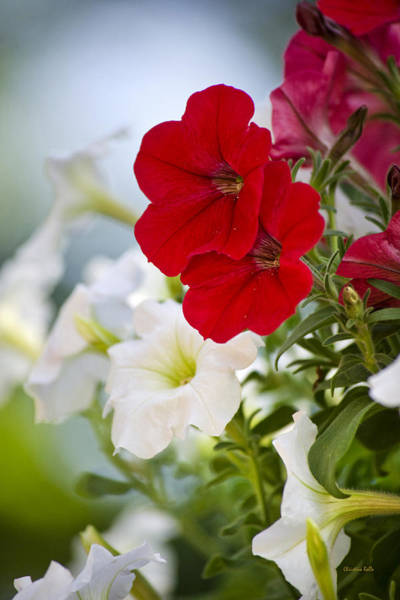 Photograph - Antique Petunia Flowers by Christina Rollo