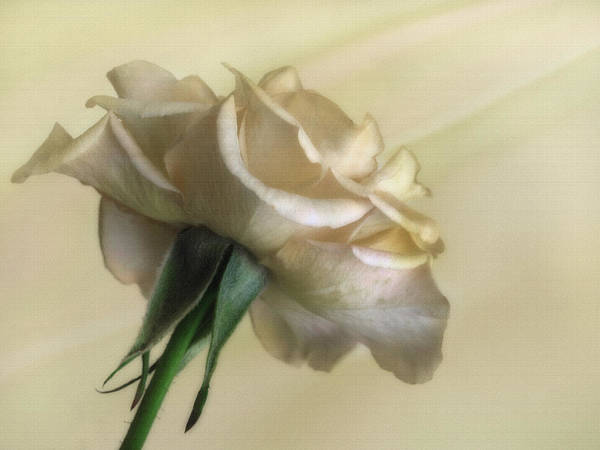 Horticulture Photograph - Antique Rose by David and Carol Kelly