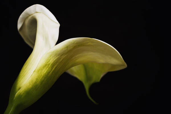 Photograph - Antique Trumpet Lily by Kim Andelkovic