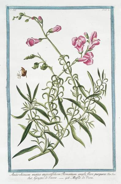 Division One Wall Art - Photograph - Antirrhinum Majus by Rare Book Division/new York Public Library