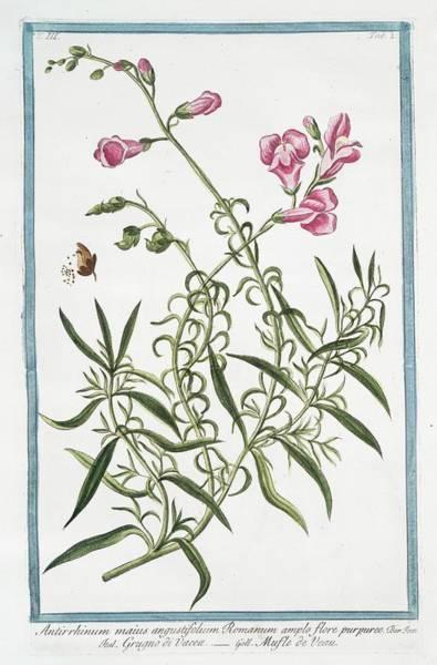 18th Century Photograph - Antirrhinum Majus by Rare Book Division/new York Public Library