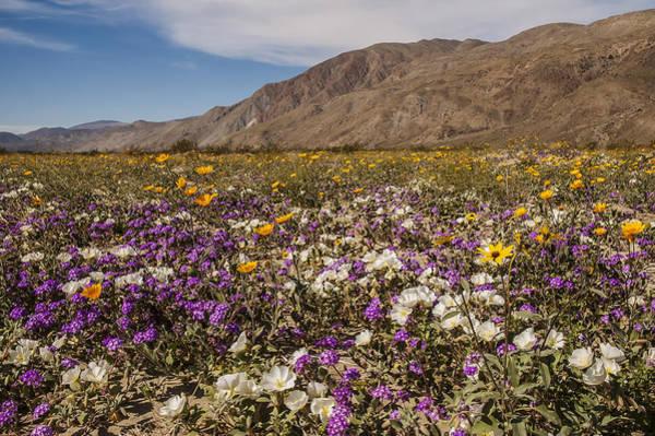 Photograph - Anza-borrego Wildflowers 1 by Lee Kirchhevel