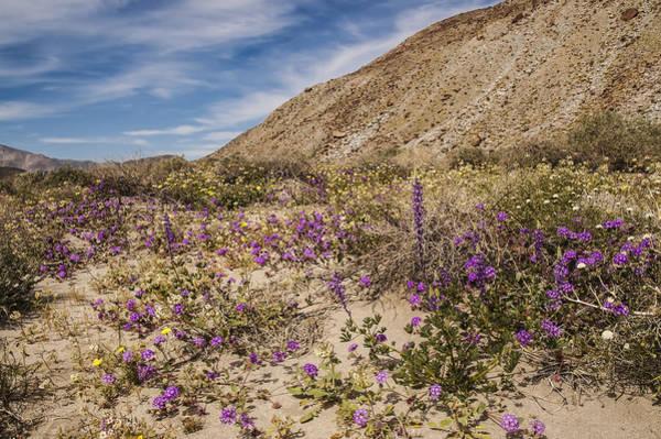 Photograph - Anza-borrego Wildflowers 12 by Lee Kirchhevel