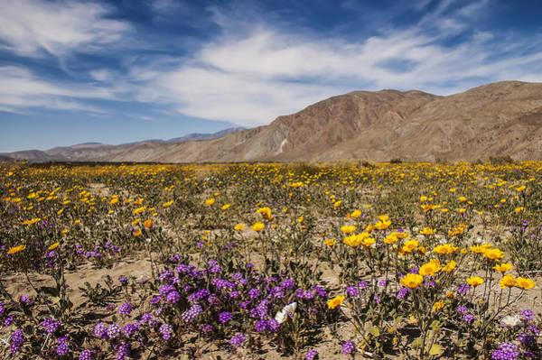 Photograph - Anza-borrego Wildflowers 14 by Lee Kirchhevel