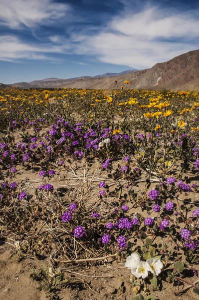 Photograph - Anza-borrego Wildflowers 15 by Lee Kirchhevel