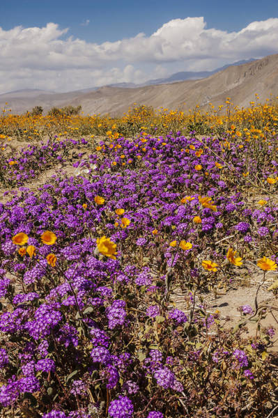 Photograph - Anza-borrego Wildflowers 26 by Lee Kirchhevel