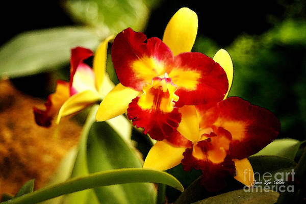 Photograph - Aos Yellow Orchid 2 by Janis Lee Colon