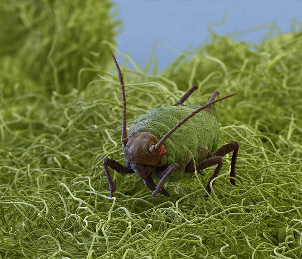 Wall Art - Photograph - Aphid On Sage Leaf, Sem by Eye of Science