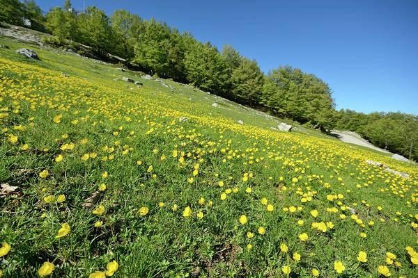 Alpine Meadows Photograph - Appenine Buttercups In A Meadow by Bruno Petriglia