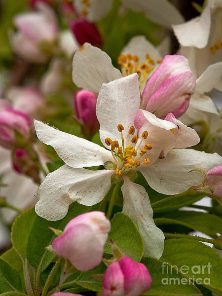 Photograph - Apple Blooms by Mae Wertz