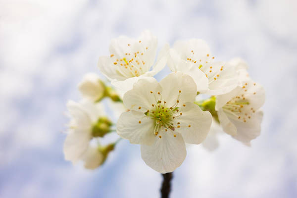 Photograph - Apple Blossom Bright White And Delicate by Matthias Hauser