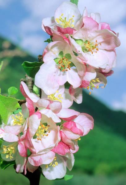 Wall Art - Photograph - Apple Blossom (malus Domestica) by Bruno Petriglia/science Photo Library