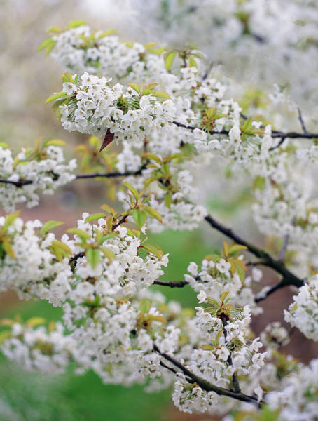 Malus Photograph - Apple Blossom (malus Sp.) by Rachel Warne/brogdale Horticultural Trust/ Science Photo Library