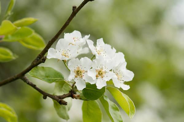Photograph - Apple Blossom by Matthias Hauser