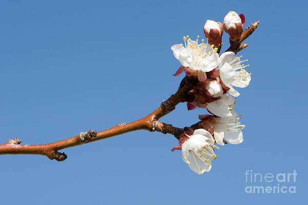 Photograph - Apple Blossoms by Cindy Singleton