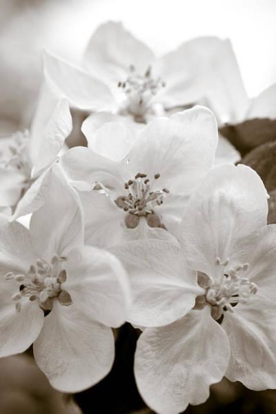 Wall Art - Photograph - Apple Blossoms by Frank Tschakert