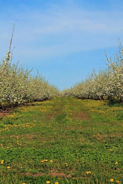 Meadowbrook Photograph - Apple Blossoms Sterling Ma 2 by Michael Saunders