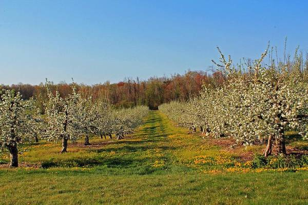 Meadowbrook Photograph - Apple Blossoms Sterling Ma by Michael Saunders