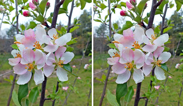 Photograph - Apple Blossoms Upclose In Stereo by Duane McCullough