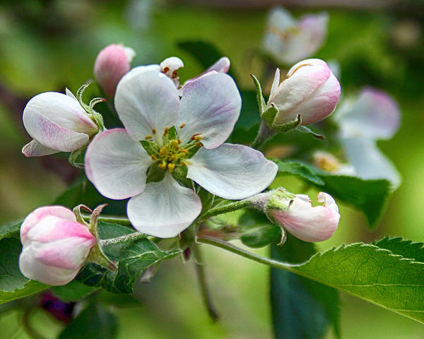 Photograph - Apple Blossom And Buds by William Selander