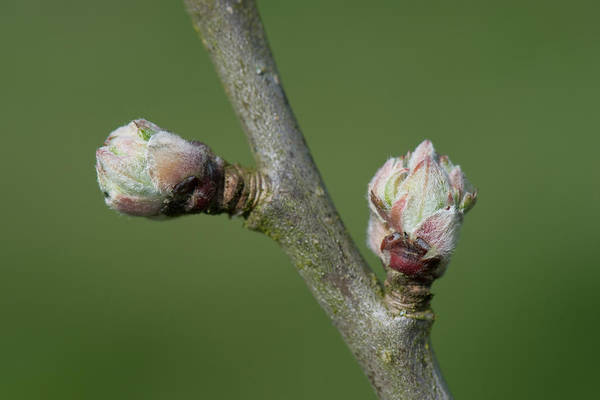 Wall Art - Photograph - Apple Buds Swelling In Spring by Nigel Cattlin