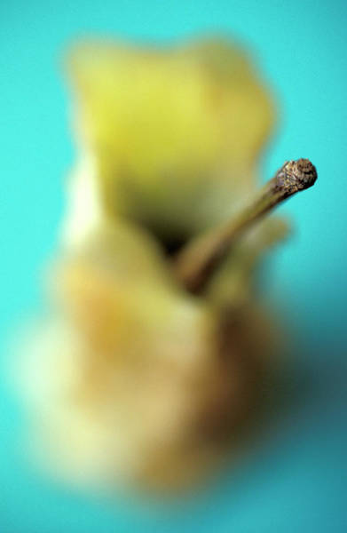 Coring Photograph - Apple Core by Chris Martin-bahr/science Photo Library
