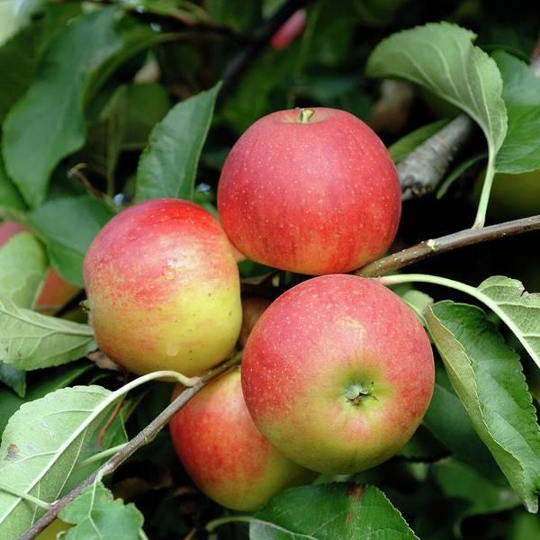 Malus Photograph - Apple (malus Domestica 'elstar') by Bildagentur-online/mcphoto-muller/science Photo Library