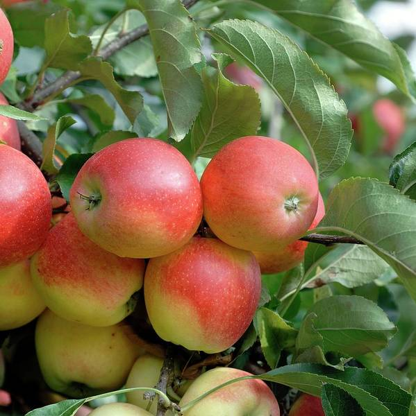 Wall Art - Photograph - Apple (malus Domestica 'gala') by Bildagentur-online/mcphoto-muller/science Photo Library