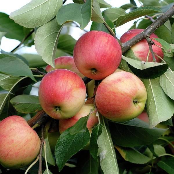 Malus Photograph - Apple (malus Domestica 'rebella') by Bildagentur-online/mcphoto-muller/science Photo Library