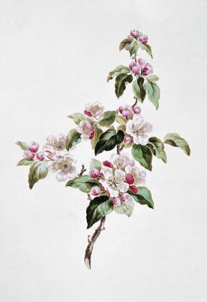 Wall Art - Photograph - Apple Malus Sp Blossom by Natural History Museum, London/science Photo Library