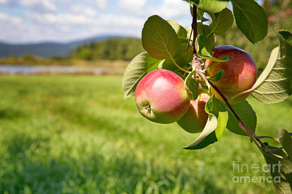 Red Delicious Apple Photograph - Apple Orchard by Jane Rix