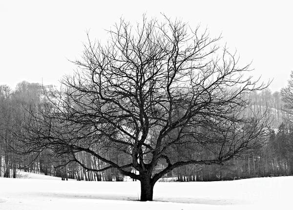 Leafless Tree Wall Art - Photograph - Apple Tree In Winter by Elena Elisseeva